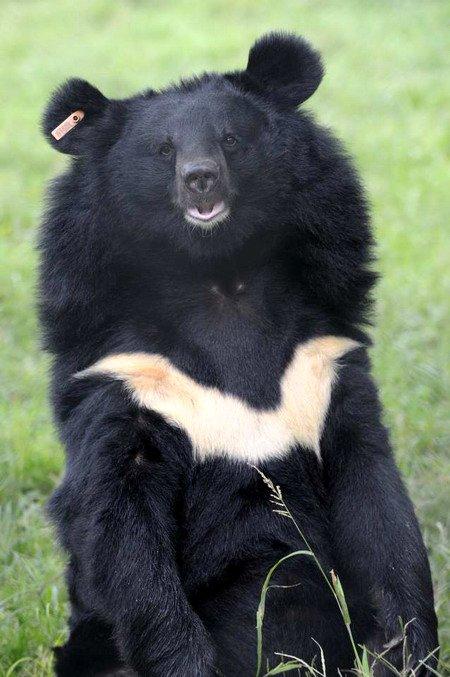 ours-noir-d-asie