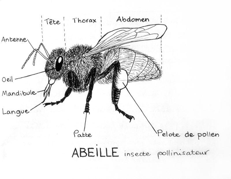 sar_abeille_description